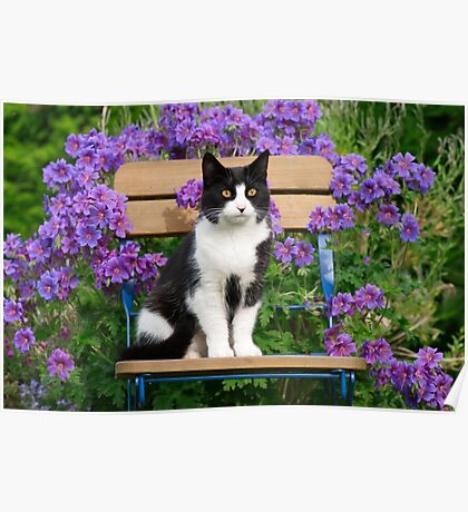 Tuxedo cat sitting on a garden chair Poster