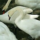 Windermere swans by Breo