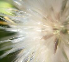 Soft Thistles by eyly