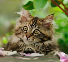 A cutie Maine Coon kitten watching by Katho Menden