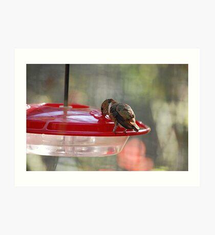 Rufous Humming Bird Eating Art Print
