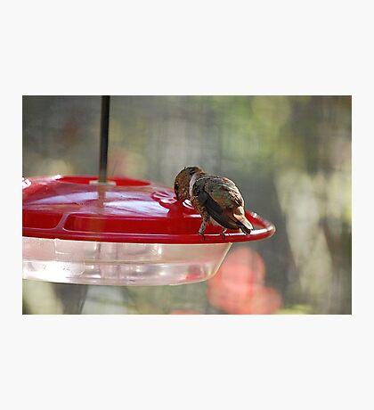 Rufous Humming Bird Eating Photographic Print