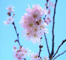 early blossom by Breo