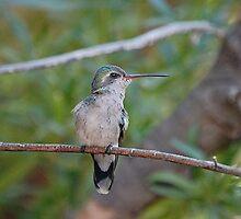 Broad Billed Hummingbird  by Stormygirl