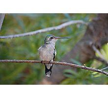 Broad Billed Hummingbird  Photographic Print