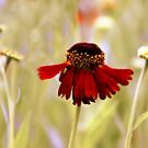 Helenium Dance by Jessica Jenney