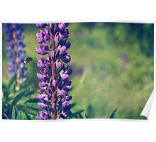 Bumble Bee Flying Towards Purple Plant Poster