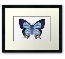 Imperial Blue Butterfly Framed Print