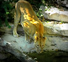 Thirsty Lion by Alaina Ellington