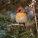 Female Northern Cardinal in Spruce Tree - Ottawa, Ontario by Michael Cummings
