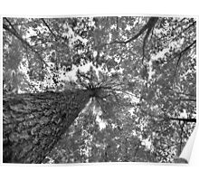 Tall Trees in B&W Poster