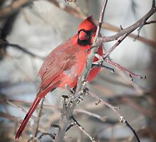 Male Northern Cardinal Hides in the Apple Tree by livinginoz