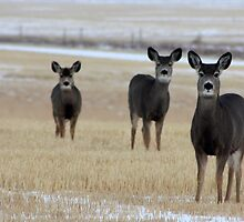 Three Whitetails by Alyce Taylor