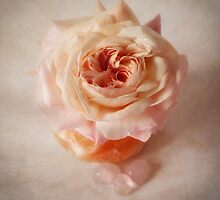 Shropshire Lad rose by inkedsandra