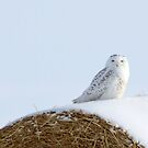 Snowy Owl by Alyce Taylor