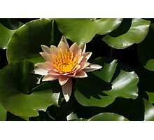 Exotic Colors - A Soft Coral Waterlily Photographic Print