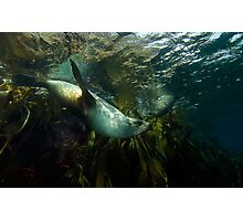 Fur Seals Photographic Print