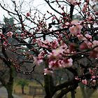 Early Cherry Blossoms in the Rain by Ken Taylor