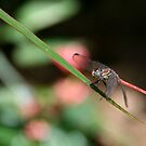 Red Dragonfly No. 2 by DanikaL