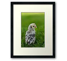 Baby Chick - Appenzeller Spitzhauben Silver Spangled  Framed Print
