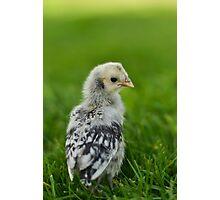 Baby Chick - Appenzeller Spitzhauben Silver Spangled  Photographic Print