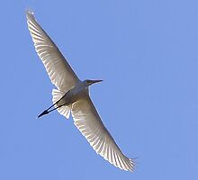 White Egret In Flight by Gryphonn