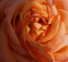 Peach Rose by Alison Caltrider
