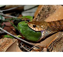 Keelback eating treefrog Photographic Print