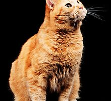 Red cat on black background by bjphotographs