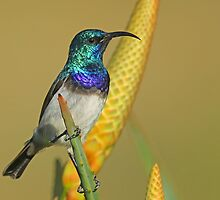 White Bellied Sunbird II by jozi1