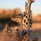Dried Cactus by Sue Leonard