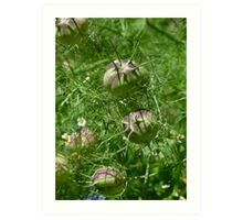 Love in the Mist seed pods Art Print