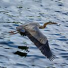 Great blue heron in fly by LudaNayvelt
