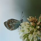 Common Blue by Lindie