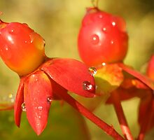 Red berries after rain by christopher363