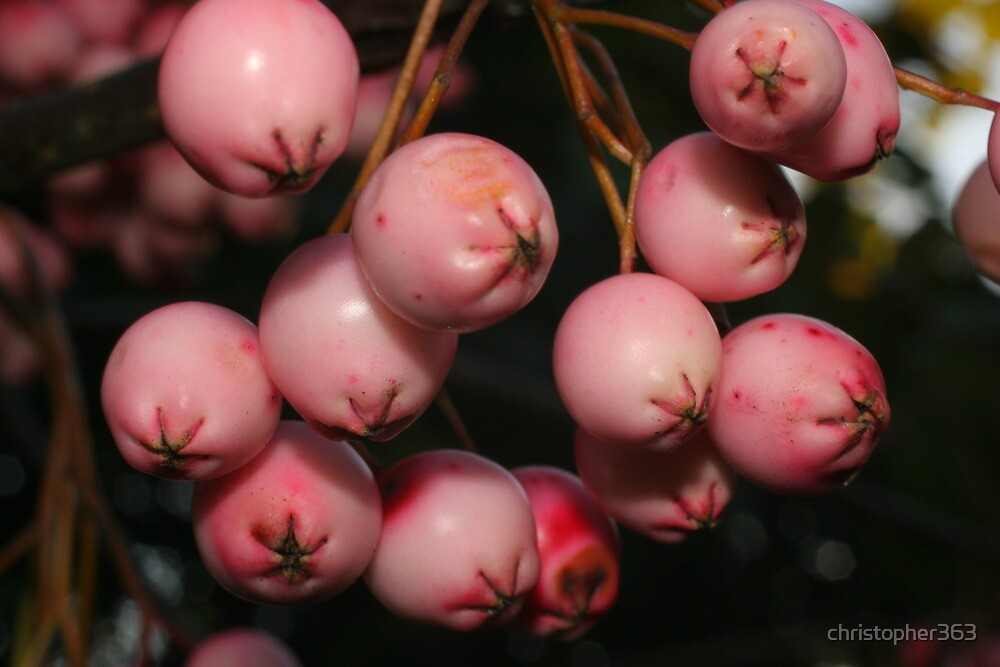 Snowberries with pinkish shine by christopher363