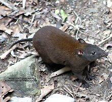 The Musky Rat Kangaroo by robmac