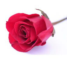 Red rose on white background Photographic Print