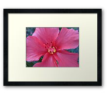 hybiscus delight Framed Print