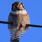 nothern hawk owl 2 by blehst