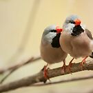 Long-tailed finch by Dominika Aniola
