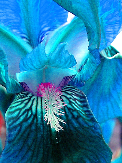 Aquamarine Iris by Ann  Warrenton