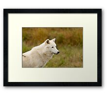 Arctic Wolf Close up  Framed Print