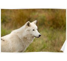 Arctic Wolf Close up  Poster