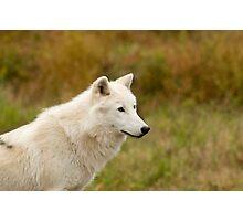 Arctic Wolf Close up  Photographic Print