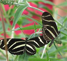 Zebra Longwing Duet by shutterbug2010
