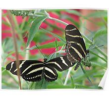 Zebra Longwing Duet Poster