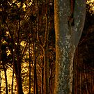 Warm light on the trees by Miriam Shilling
