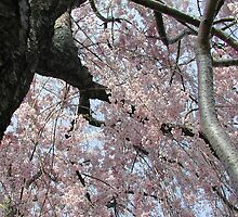 Weeping Cherry Tree by Duckydaddles
