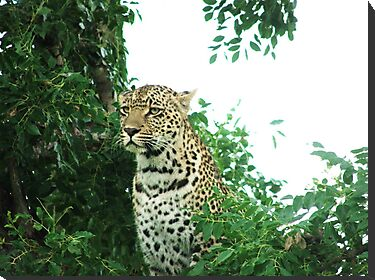 Karula the Leopard by Andreas1978